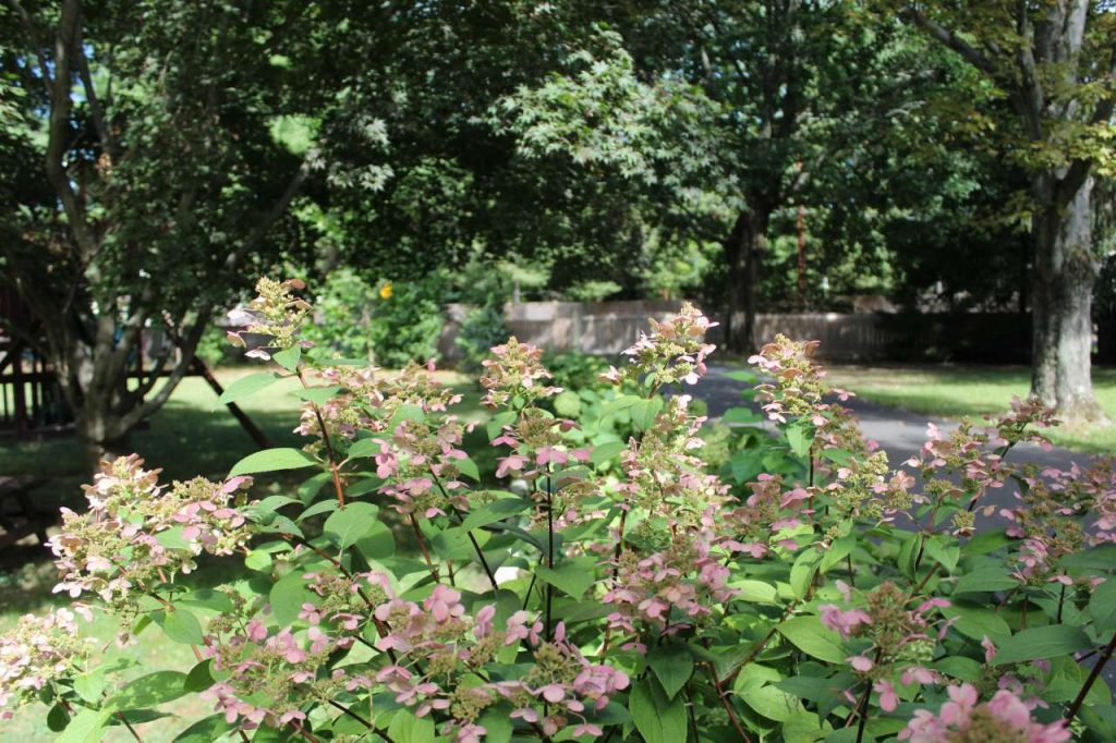 Free and Discounted Trees and Plants - hydrangeas