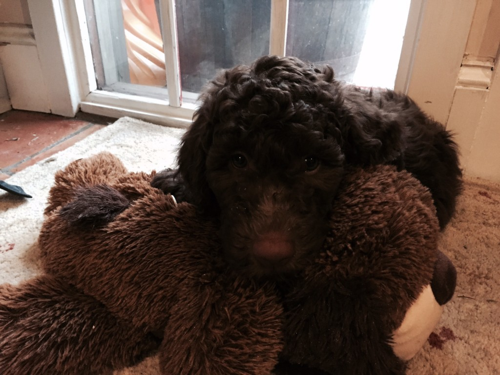 Meet Moose - Our Australian Labradoodle