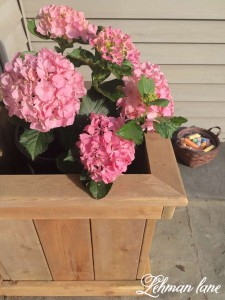 Hydrangea in DIY Cedar Flower Planter