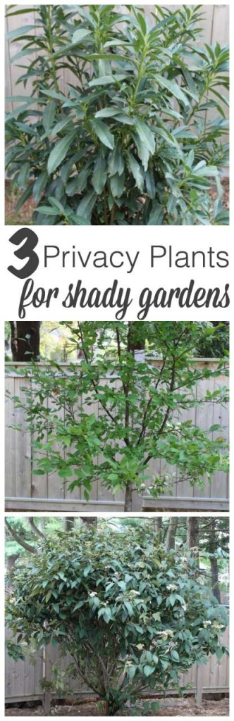 If you are desperately wanting privacy for your yard but don't have a sunny spot, check out the 3 privacy plants for shade that have worked great in our yard!!! #gardening http://lehmanlane.net