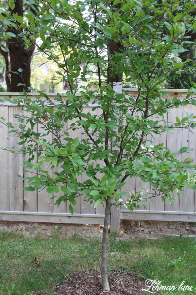 3 Privacy Plants for Shade Crabapple Tree