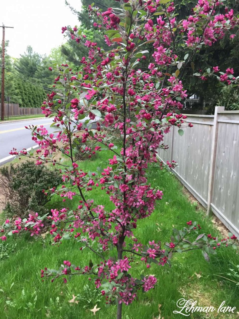 3 Privacy Plants for Shade Crabapple