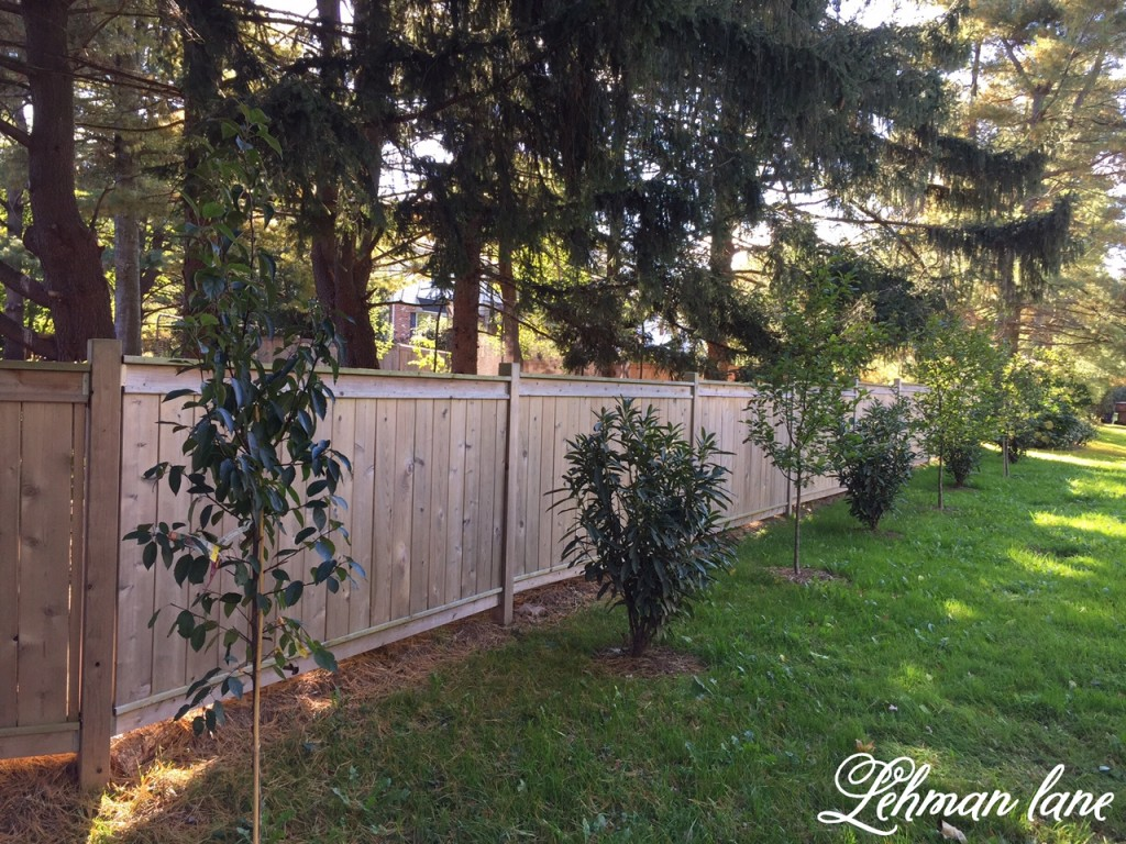 3 privacy plants for shade lehman lane for Privacy greenery