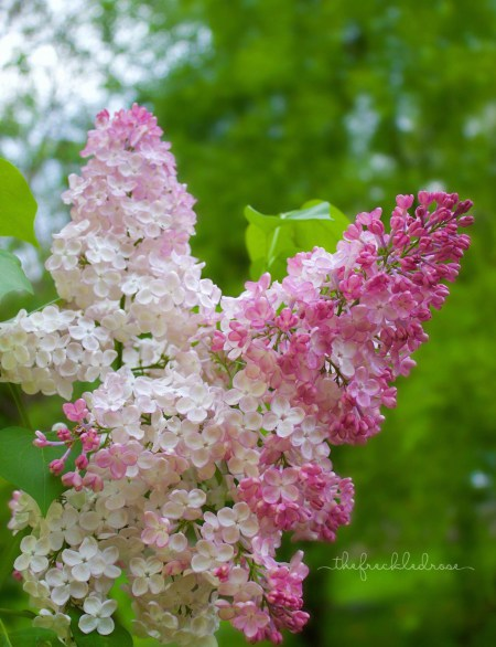 bloominglilacs