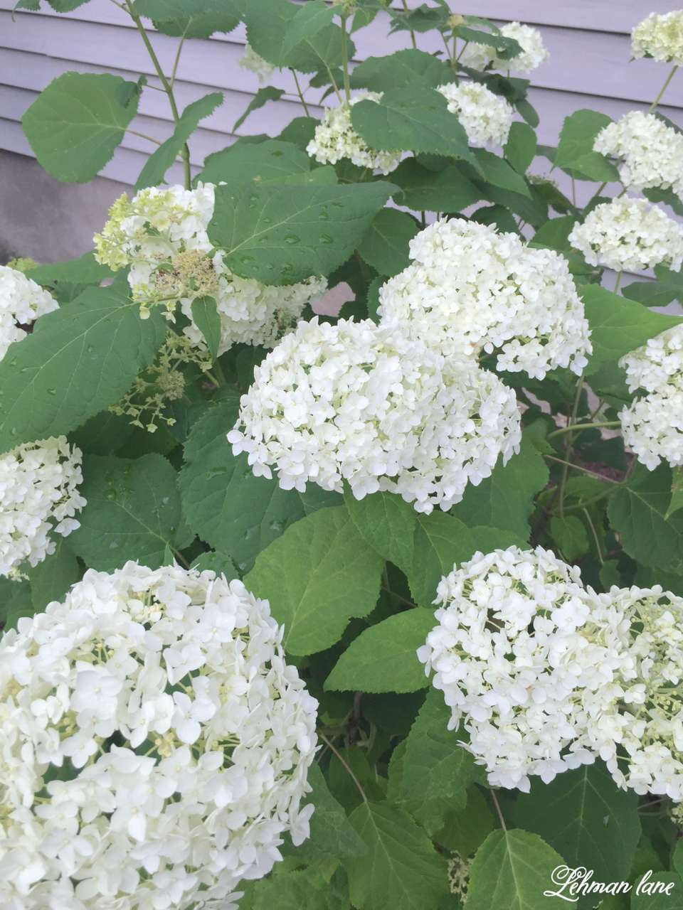 Summer Garden Tour & Outdoor Spaces Blog Hop - annabelle hydrangea