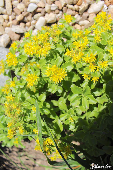 Summer Garden Tour & Outdoor Spaces Blog Hop yellow sedum