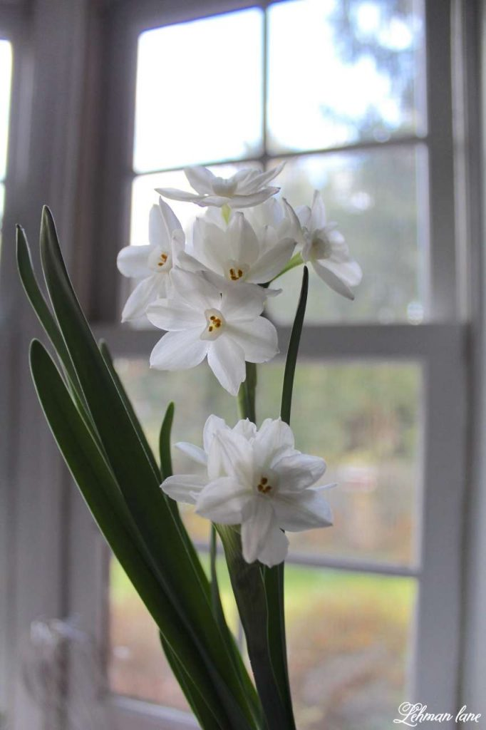 Paperwhites for Christmas blooming