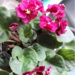 Caring for Houseplants - 3 Tips for Success - african violet