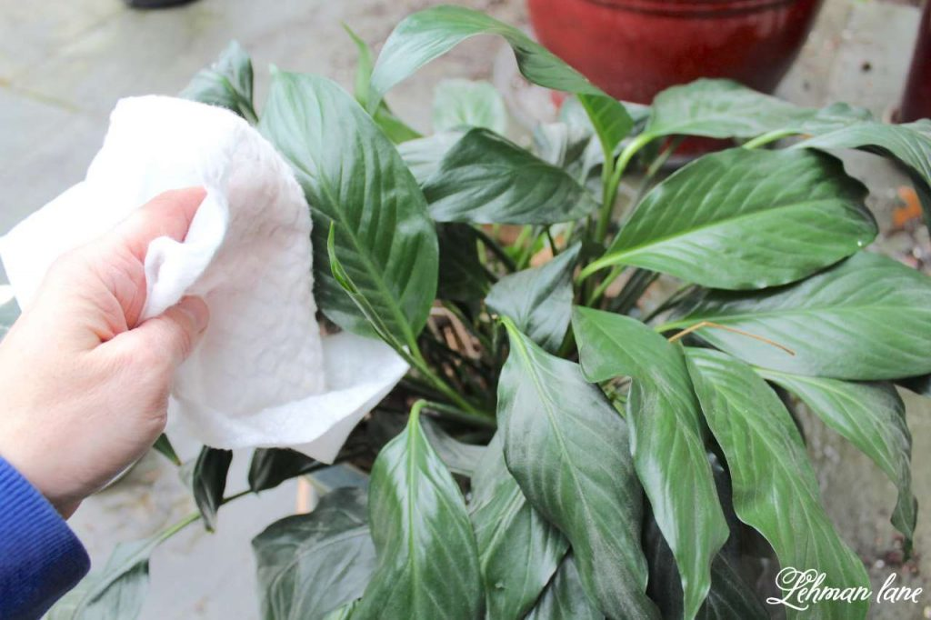 Caring for Houseplants - 3 Tips for Success - dusting plant leaves
