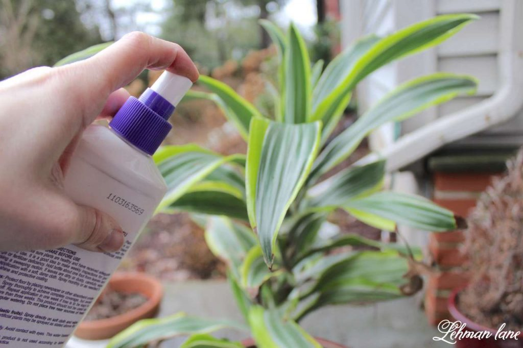 Caring for Houseplants - 3 Tips for Success - spraying the leaves