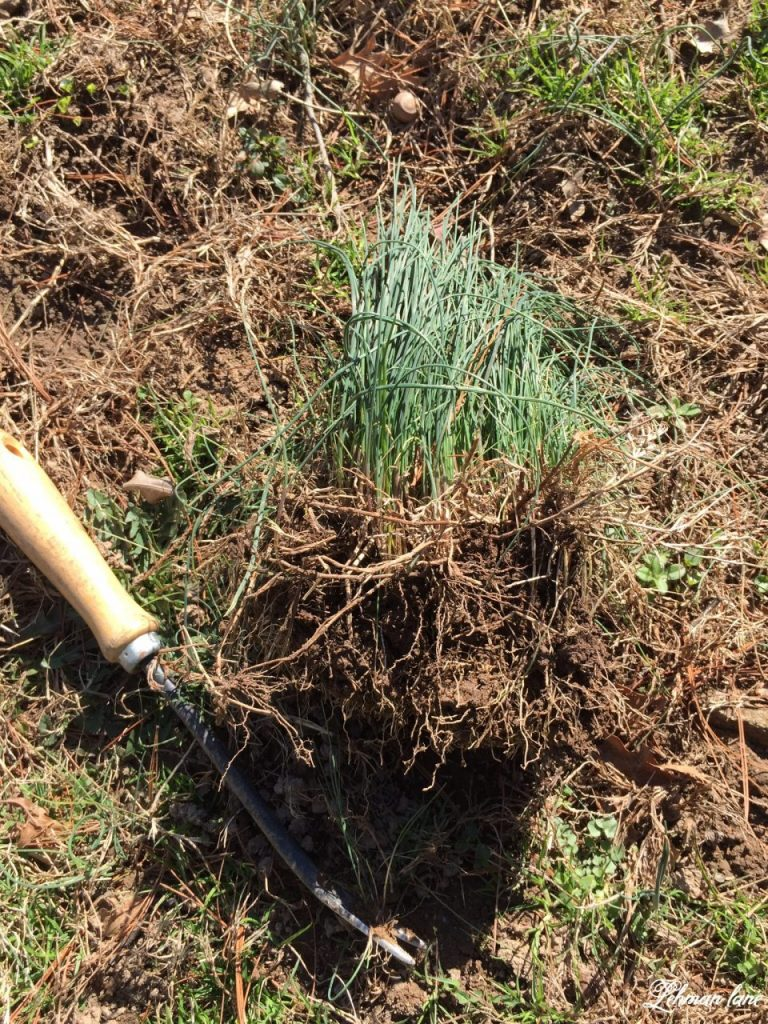 My favorite tool to get rid of dandelions - onion grass
