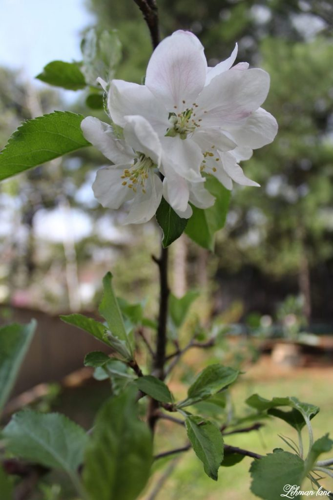 It has always been m dream to havea home orchard. Stop by to see how we started ours! #orchard #homeorchard #homegrown http://lehmanlane.net - apple blossoms