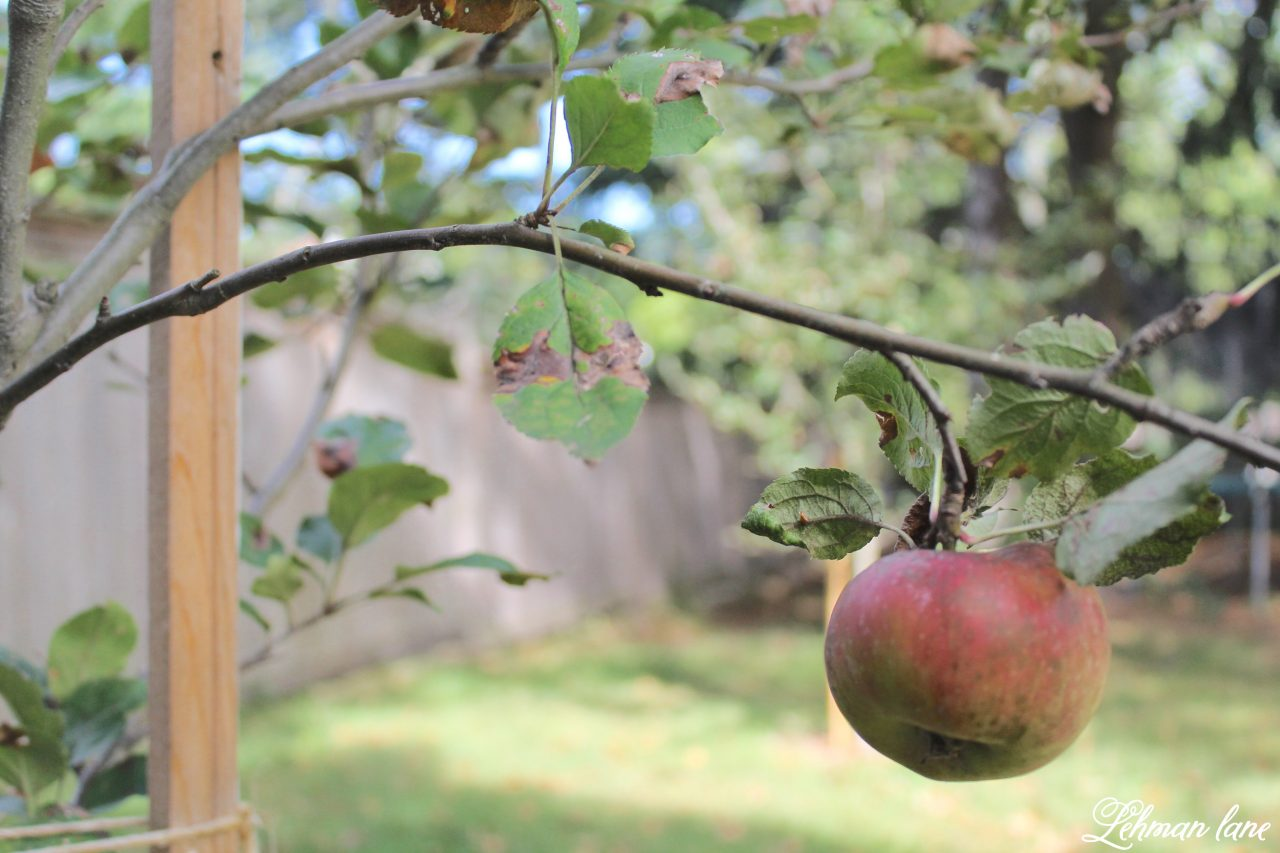 It has always been m dream to havea home orchard. Stop by to see how we started ours! #orchard #homeorchard #homegrown http://lehmanlane.net