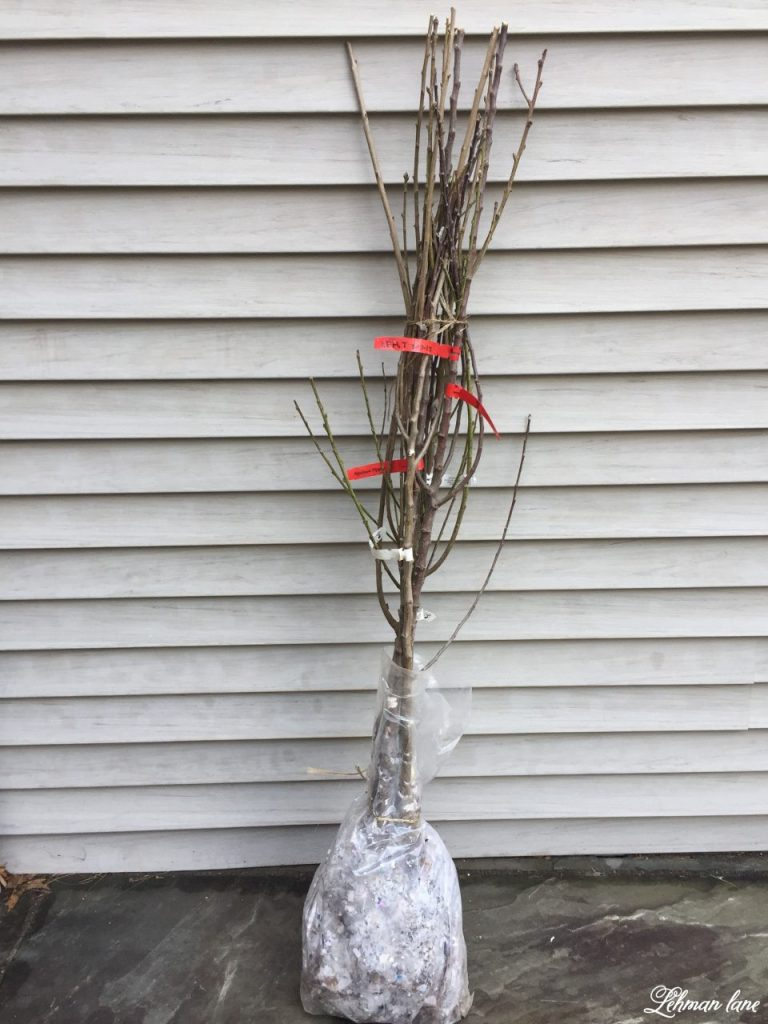 Starting a Home Orchard - bare root trees