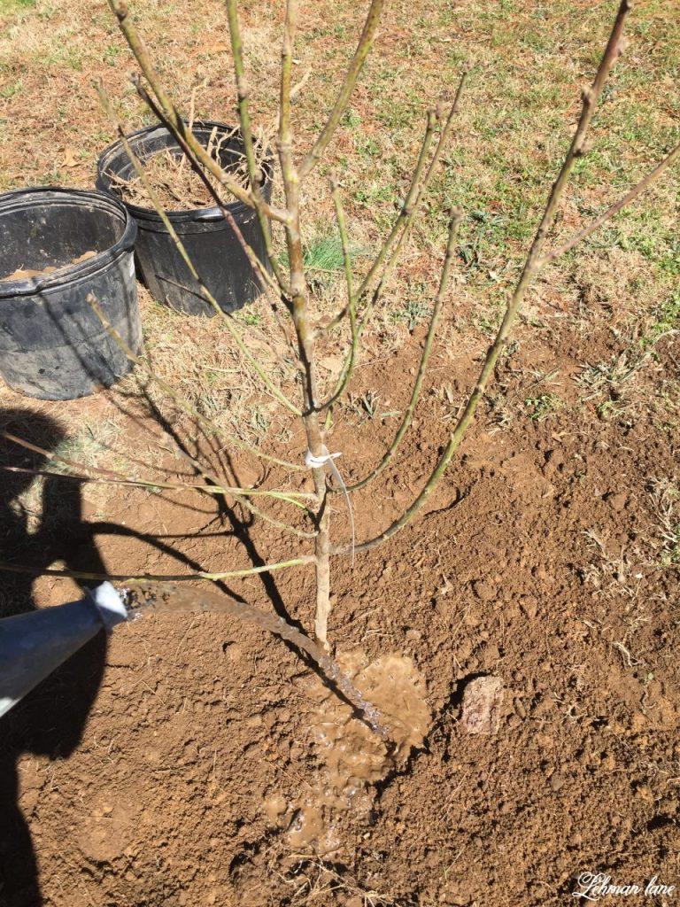 Starting a Home Orchard - watering