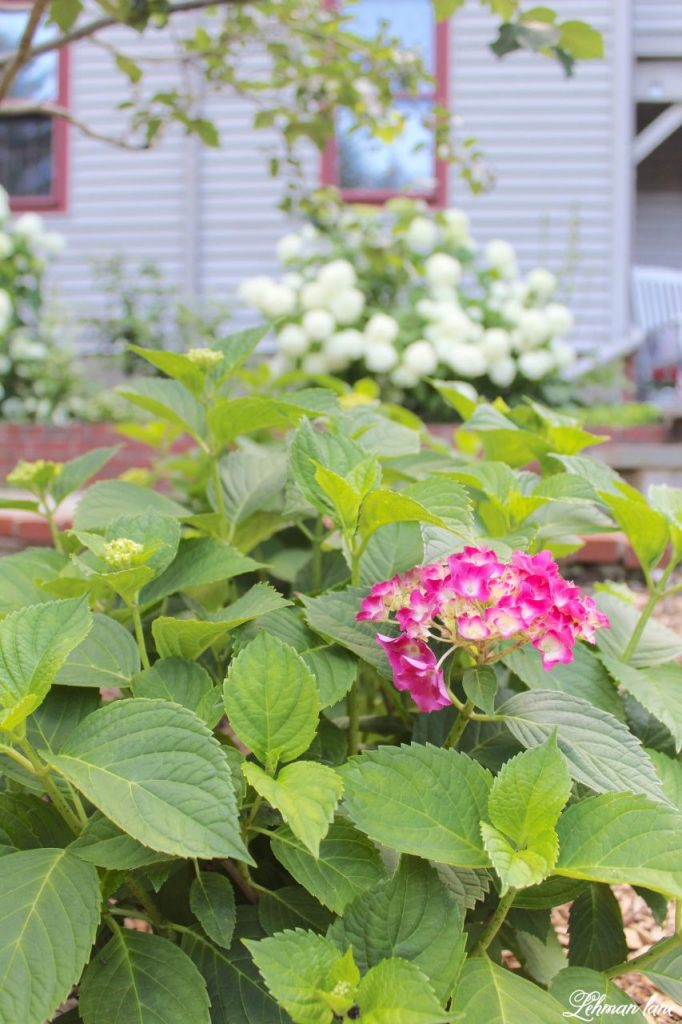 Sharing our Farmhouse's summer garden tour along with a few blogging friends for an outdoor spaces blog hop. Stop by to see summer front porches, backyard spaces, herb gardens and poolside gardens for lots of summer gardening ideas! #summer #summergarden #otdoorspaces http://lehmanlane.net / pink hydrangea