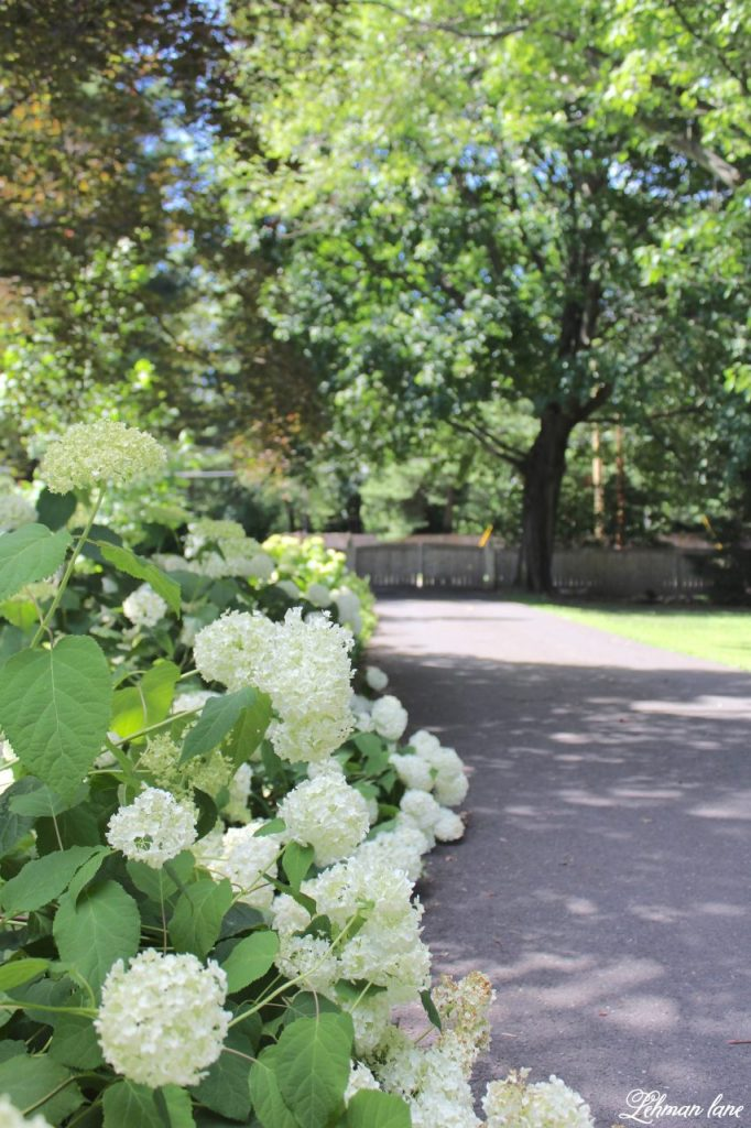 hydrangea care - sharing my #1 tip for how to get the most blooms from your plants - annabelle hydrangeas in our driveway