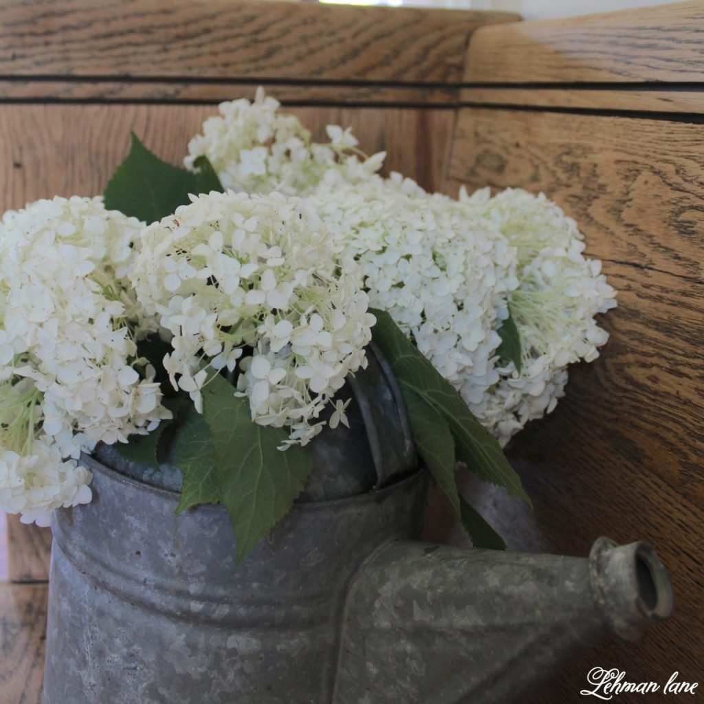hydrangea care - sharing my #1 tip for how to get the most blooms from your plants - white hydrangea blooms in a galvanized watering can