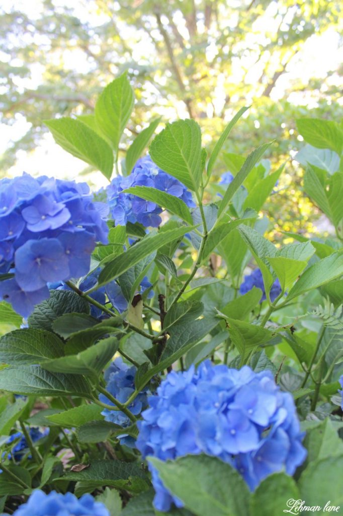 hydrangea care - sharing my #1 tip for how to get the most blooms from your plants - blue hydrangea