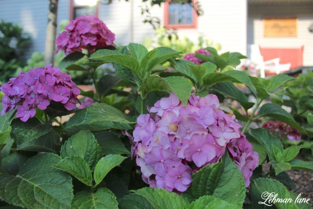 hydrangea care - sharing my #1 tip for how to get the most blooms from your plants - pink hydrangea
