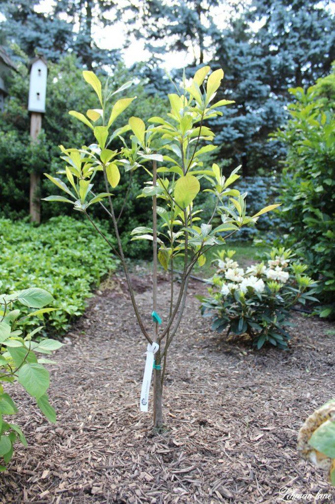 Our New Patio Garden - Ben Franklin tree
