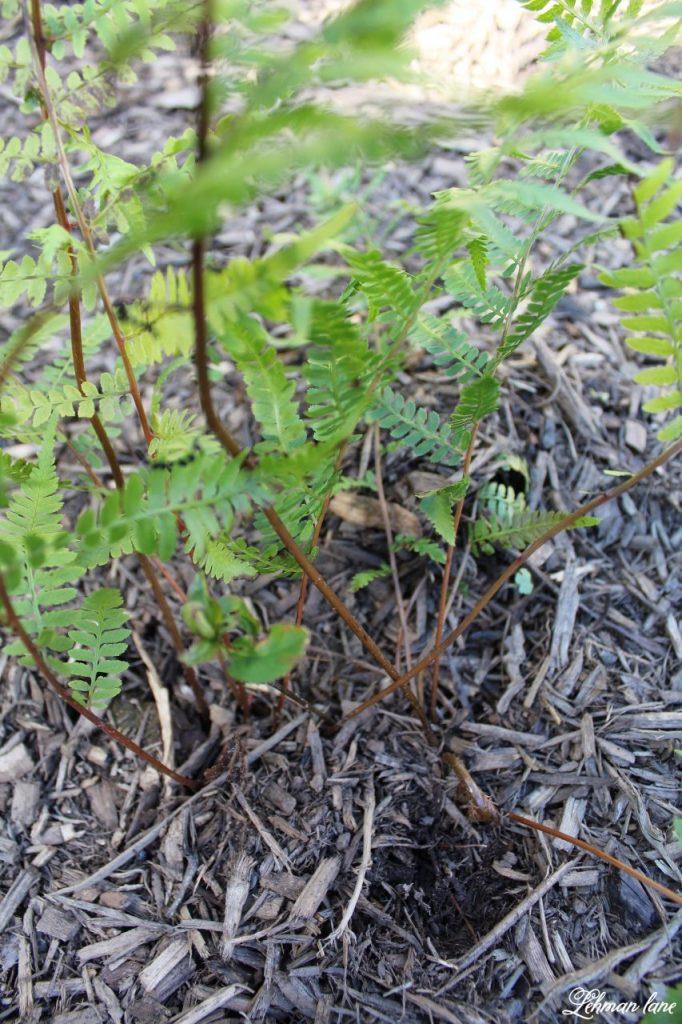 Our New Patio Garden - fern