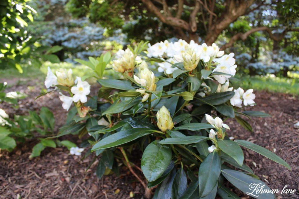 Our New Patio Garden - white rhodedendron