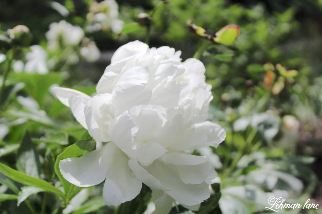 Summer Porch & Summer Garden Tour Hop - white peony