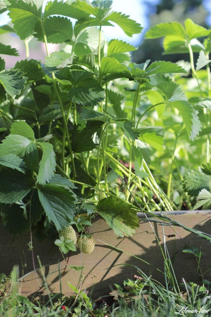 Home Garden Strawberry Patch - every home garden needs a strawberry patch. Strawberries are easy to grow & care free plants #homegarden #strawberries http://lehmanlane.net
