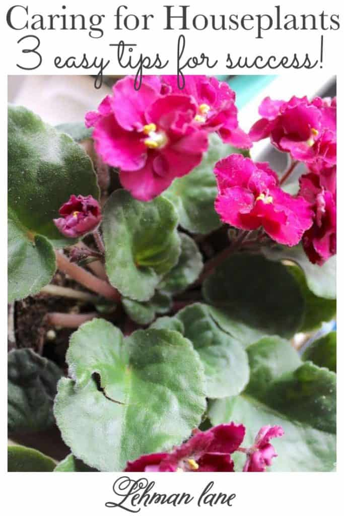 Sharing my 3 easy tips for success when caring for houseplants & how to give the best care for houseplants in low light with pictures! #beginnergardeningtips #houseplantstips #houseplants https://lehmanlane.net
