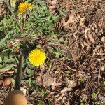 My favorite tool to get rid of dandelions