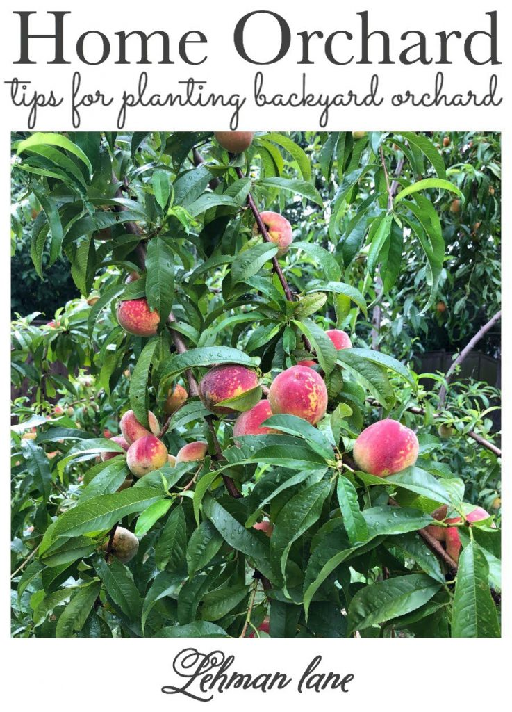Sharing all the tips & tricks I learned planning, planting & starting a small home orchard with apples, peaches, plums, pears, cherries & fig trees next to our raised vegetable garden & chicken coop.  #homeorchard #gardeningforbeginners #orchardtree #fruittree https://lehmanlane.net