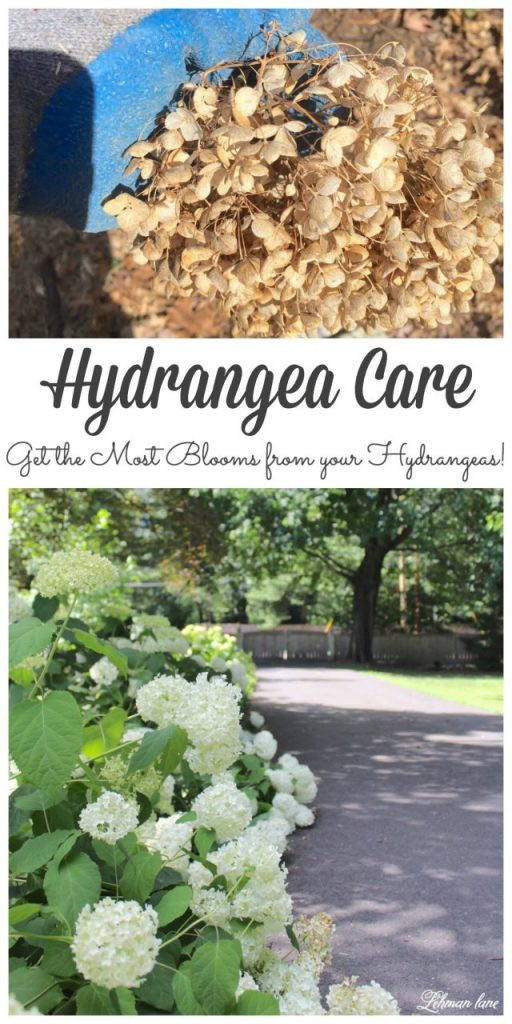 hydrangea care - sharing my #1 tip for how to get the most blooms from your plants #gardening #hydrangeas http://lehmanlane.net