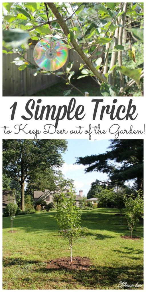 If you have trouble with deer eating all your home grown fruits and veggies you might want to check out My Simple Trick for How to Keep Deer out of the Garden! #gardeningtips #gardening http://lehmanlane.net