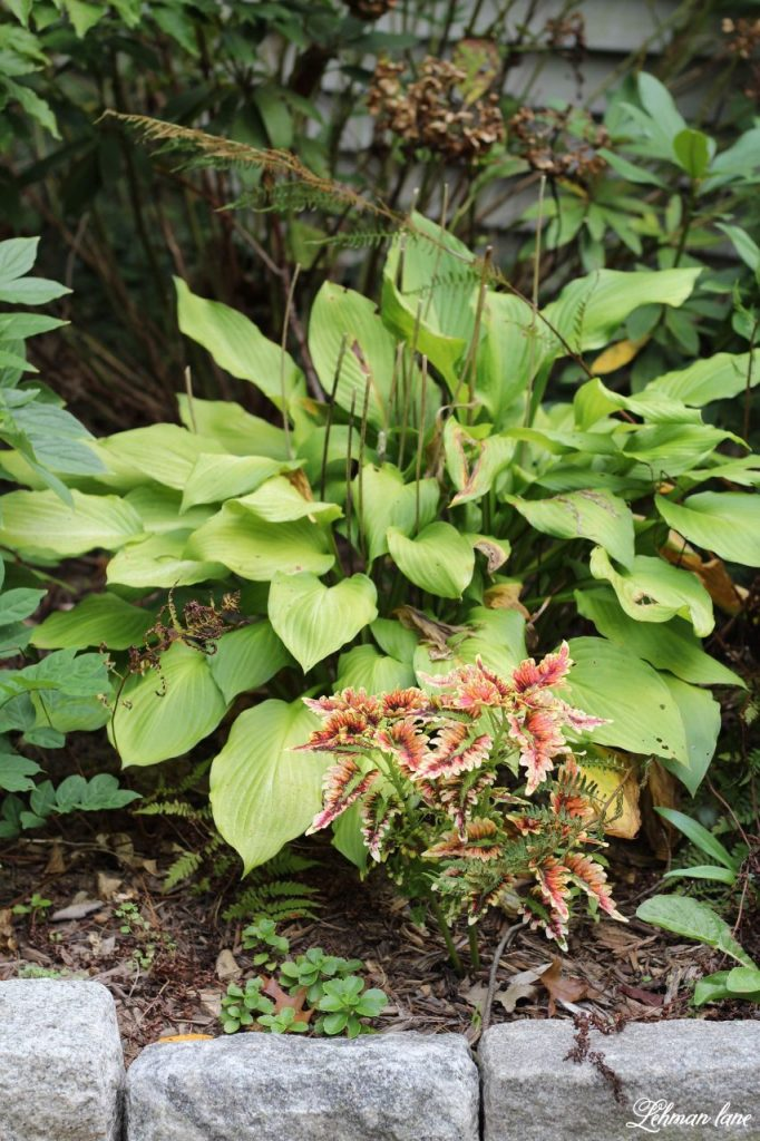 I am sharing my favorite tool to divide hosta & other perennial plants. Dividing plants can be a fantastic way to grow your garden completely for free!!! #gardening https://lehmanlane.net