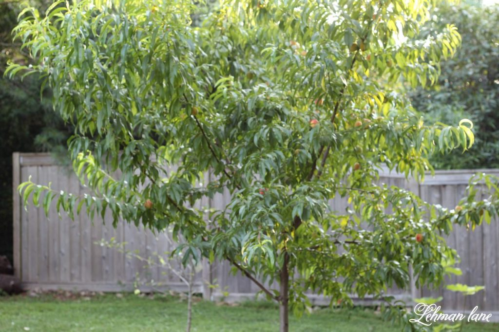 Home Orchard Update - 4 Mistakes I Made #homeorchard #homegrown #orchard https://lehmanlane.net