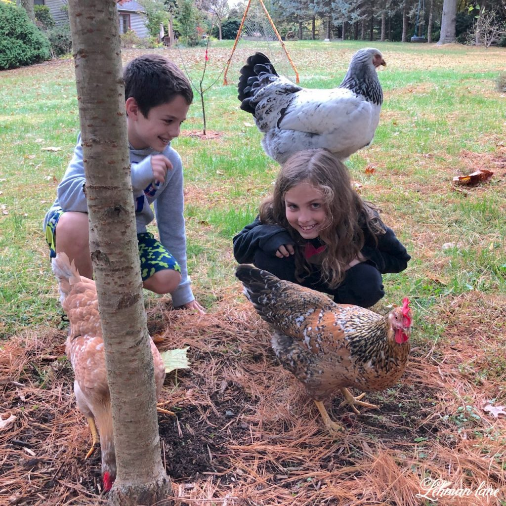 Backyard Chickens - Sharing all about backyard chickens for newbie chicken owners #backyardchickens #chickens https;//lehmanlane.net