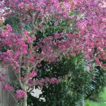 f you are desperately wanting privacy for your yard but don't have a sunny spot, check out the 3 privacy plants for shade that have worked great in our yard!!! #gardening http://lehmanlane.net