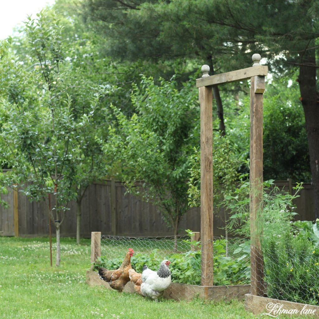 We added a DIY Arbor & wire fencing to our raised garden beds.  This DIY arbor was simple to build & brings a lot of character to our raised garden beds while the fencing helps keeps our chickens away from eating all the strawberries :)  And the best part is that this project cost us less than $20 to build! #raisedgardenbeds #backyardchickens