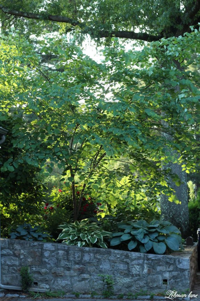 Sharing 15 of my favorite shade plants, perennials & shrubs to grow under trees.  #shadeplants #landscaping #backyardideas #shadeperennials #shadegardenideas https://lehmanlane.net