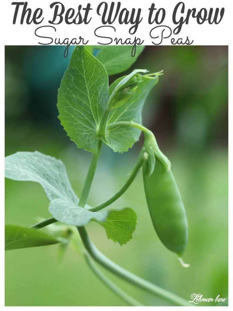 Sugar Snap Peas may be the EASIEST vegetable to grow in your vegetable garden beds & cooking sugar snaps peas could not be simpler!  Sharing all the tips & tricks we learned growing & cooking sugar snap peas. #sugarsnappeas #gardeningforbeginners #vegetables https://lehmanlane.net