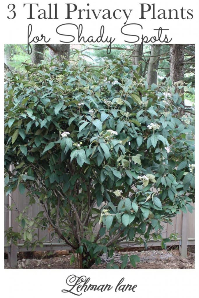 Sharing 3 of the best tall shrubs & privacy plants for shade that will grow fabulously under trees while looking pretty & providing curb appeal at the same time! #plantsforshade #gardeningforbeginners #privacyplants https://lehmanlane.net